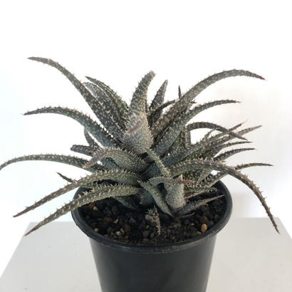 Aloe hyb (DW-35) 2