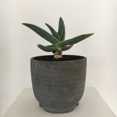 Aloesaponariamonstrose