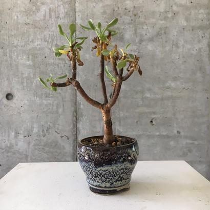 Othonna lasiocarpa