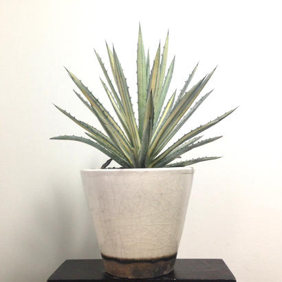 Agave macroacantha f.variegated