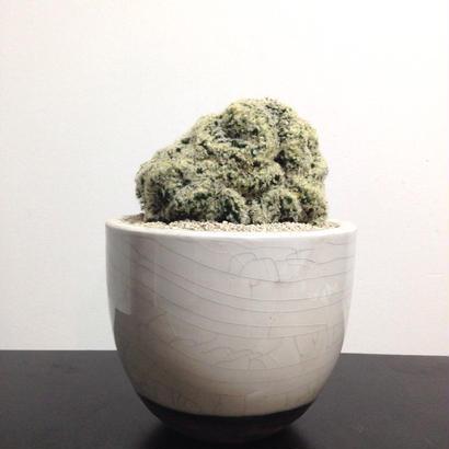 Mammillaria schiedeana f. crist