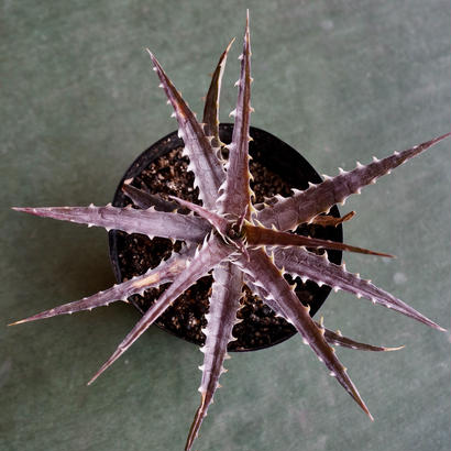 Dyckia goehringii type clone X Purple Shark