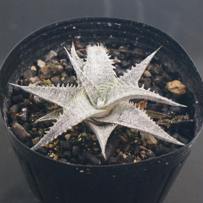 Dyckia  ML  var.  estevesii