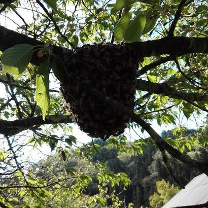 分蜂の様子 非売品