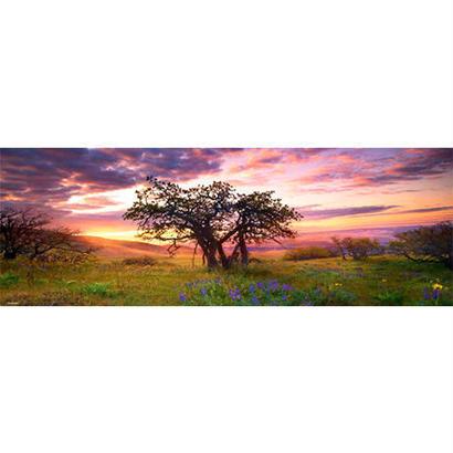 Oak Tree : Ed. Humboldt - 29472