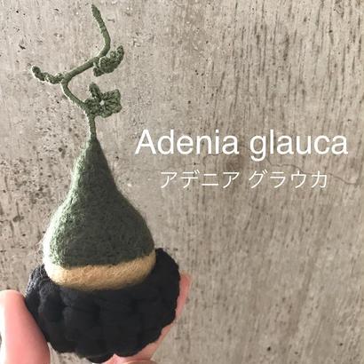 アデニア グラウカ