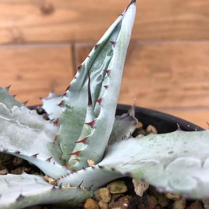 agave shrevei matapensis
