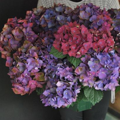野の花屋 鉢物 秋色アジサイ ディープパープル