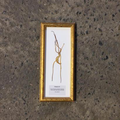"GOLDEN WOOD FRAME ""Brassia S.P."""