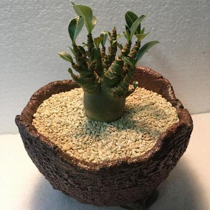 Adenium arabicum  モンスト 1