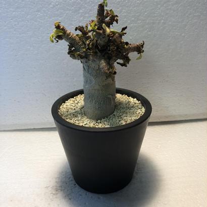 """Adenium""""arabicum""""モンスト獅子葉 2"""