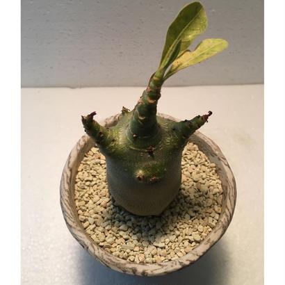 Adenium arabicum モンスト 4