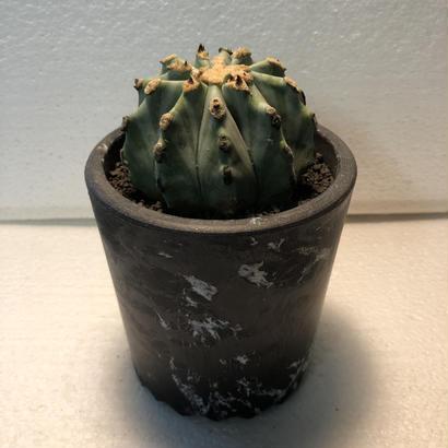 Ferocactus glaucescens f.