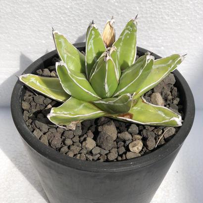 Agave victoriae-reginae 笹の雪 スーパーワイド
