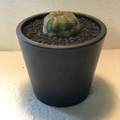 Euphorbia obesa Old 3