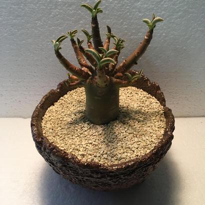 Adenium arabicum モンスト 2