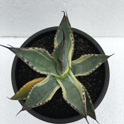 "parryi ssp ""neomexicana variegata"""