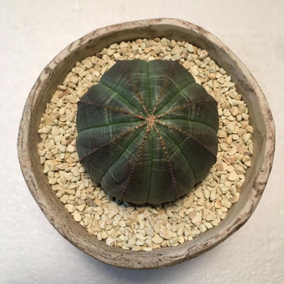 "Euphorbia ""obesa""  1"
