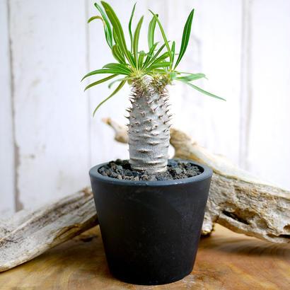 Pachypodium rosulatum spp. gracilius パキポディウム・ロスラーツム・グラキリウス(グラキリス)