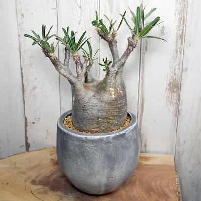 Pachypodium rosulatum spp. gracilius パキポディウム・ロスラーツム・グラキリウス(グラキリス)G7
