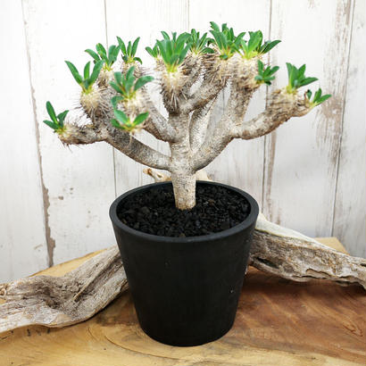 Euphorbia guillauminiana ユーフォルビア・ギラウミニアナ