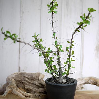 Fouquieria fasciculata×purpusii フォークイエリア・ファシクラータ × プルプシーS1
