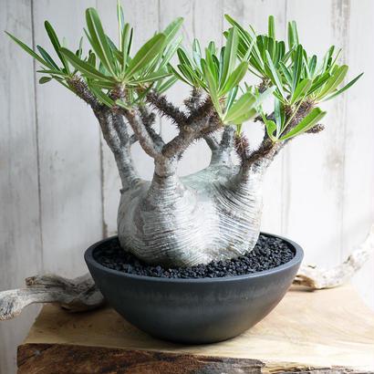 Pachypodium rosulatum spp. gracilius パキポディウム・ロスラーツム・グラキリウス(グラキリス)G12