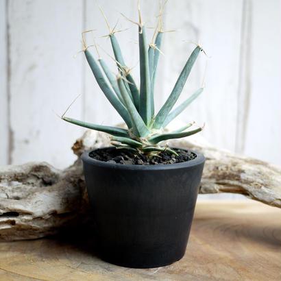 晃山 Leuchtenbergia principis レウクテンベルギアプリンシピスB