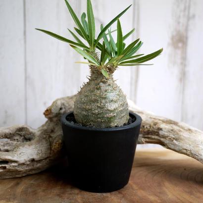 Pachypodium rosulatum spp. gracilius パキポディウム・ロスラーツム・グラキリウス(グラキリス)G13