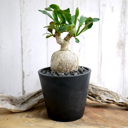 Euphorbia subapoda ユーフォルビア・スバポダ