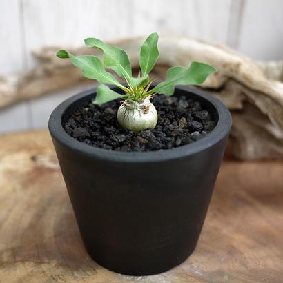 Pachypodium namaquanum パキポディウム・ナマクァナム N1
