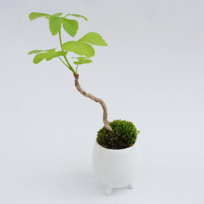 【マイクロ盆栽】イチョウ