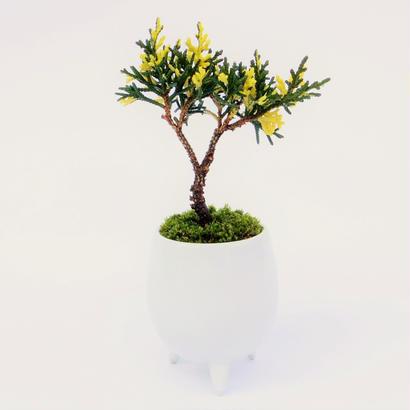【マイクロ盆栽】斑入りシンパク