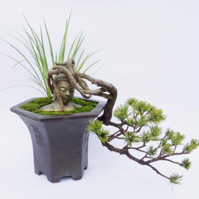 【仏像盆栽】五葉松(ゴヨウマツ)