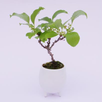 【マイクロ盆栽】ウメモドキ(梅もどき)