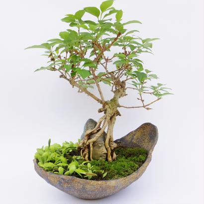 【仏像盆栽】レンギョ