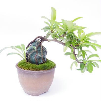 【仏像盆栽】ピラカンサ