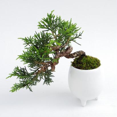 【マイクロ盆栽】シンパク(真柏)