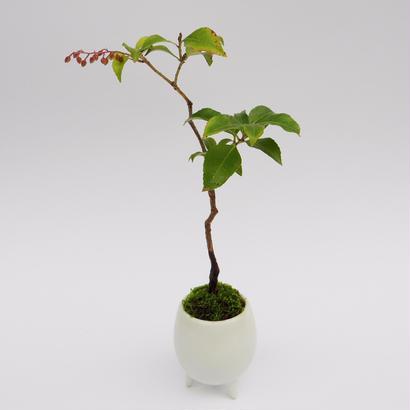 【マイクロ盆栽】ヒメアセビ