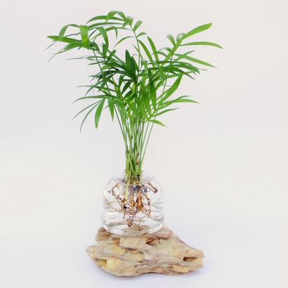 【アクア盆栽】テーブルヤシ