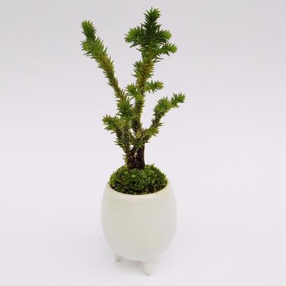 【マイクロ盆栽】ヤツブサスギ(八つ房杉)
