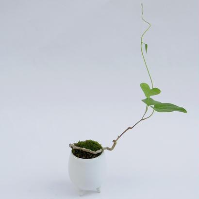 【マイクロ盆栽】アオツズラフジ(青葛藤)