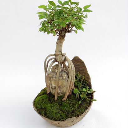 【仏像盆栽】ニレケヤキ
