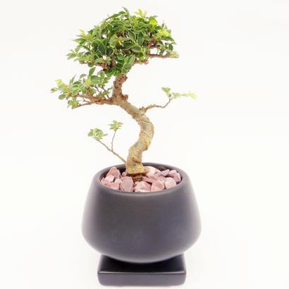 【Mini盆栽】ニレケヤキ(楡欅)