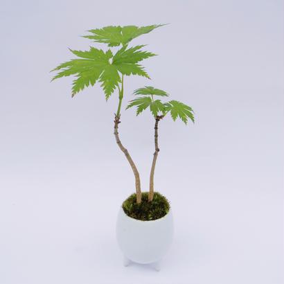 【マイクロ盆栽】イタヤカエデ(板屋楓)