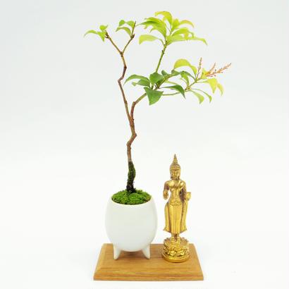 【マイクロ盆栽&仏像(台座付き)】ヒメアセビ