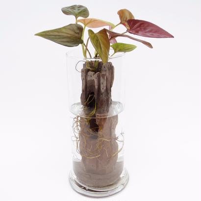 【アクア盆栽】バベルの塔(チョコレートシンゴニウム)