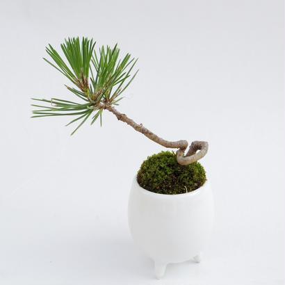 【マイクロ盆栽】クロマツ(黒松)