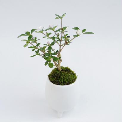 【マイクロ盆栽】コウチョウギ(香丁木)