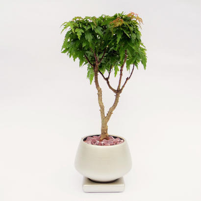 【Mini盆栽】モミジ(紅葉)